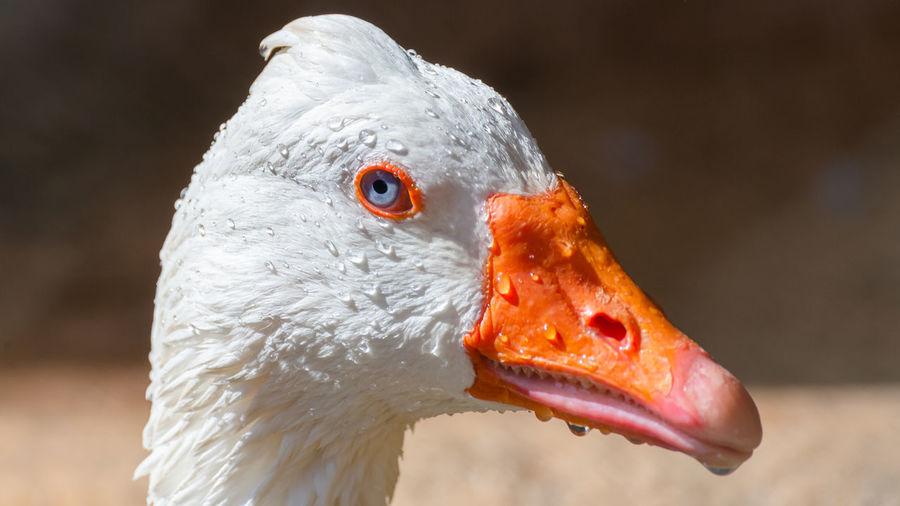 Close-up of a wet goose
