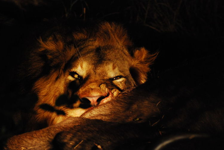 #EyeEmNewHere Lion Animal Themes Animal Wildlife Animals In The Wild Carnivore Close-up Kingofthejungle Lying Down Mammal Nature Night No People One Animal Outdoors Relaxation