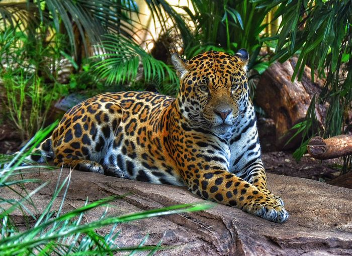 Big Cat Animals Power Beauty Taking Photos Photography Zoo EyeEm Nature Lover EyeEm Animal Lover Protecting Where We Play