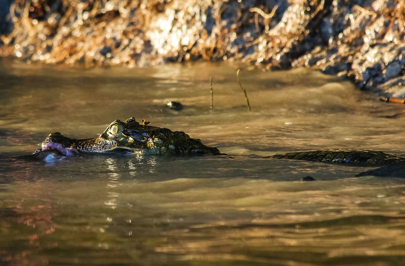 View of caiman swimming in river