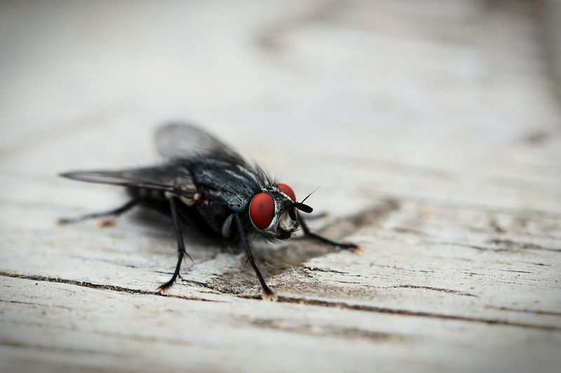 Close-Up Of Fly On Wooden Plank