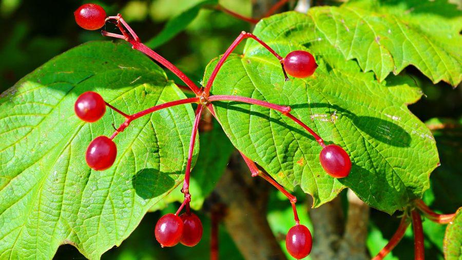 Viorne obier,