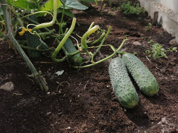 Close-up of fresh vegetables on field