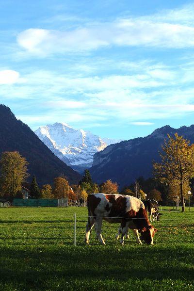 Blue Sky Cow Cows Interlaken Jungfrau Landscape Mountain Range Sky Switzerland