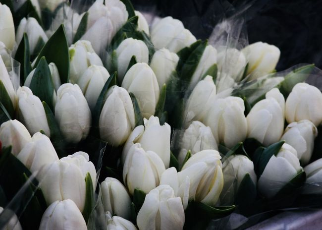 white tulips on the flower market Copy Space Flower Market The Week On EyeEm Tulips Backgrounds Beauty In Nature Blooming Bunch Close-up Flower Flower Head For Sale Fragility Freshness Growth Many Nature No People Outdoors Petal Plant Tulip White Color White Tulips