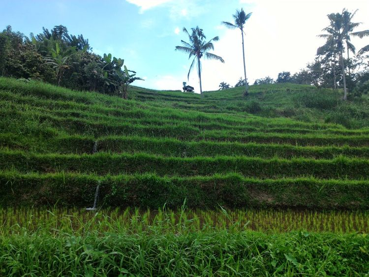 Agriculture Field Growth Tree Rural Scene Nature Tea Crop Outdoors Green Color Crop  Day Cloud - Sky Landscape Sky Beauty In Nature No People Scenics Freshness Rice Field Rice Paddy Paddy Fields Wonderful Indonesia Jatiluwih Travel Destinations Travel