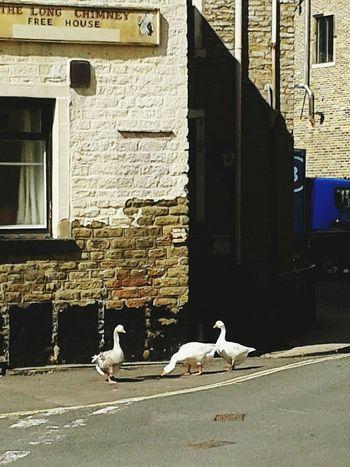 Geese Family Geese Earlybird Earlybirdlove Dawn Of A New Day Outforawalk Pub Sunshine Taking Photos Shadows