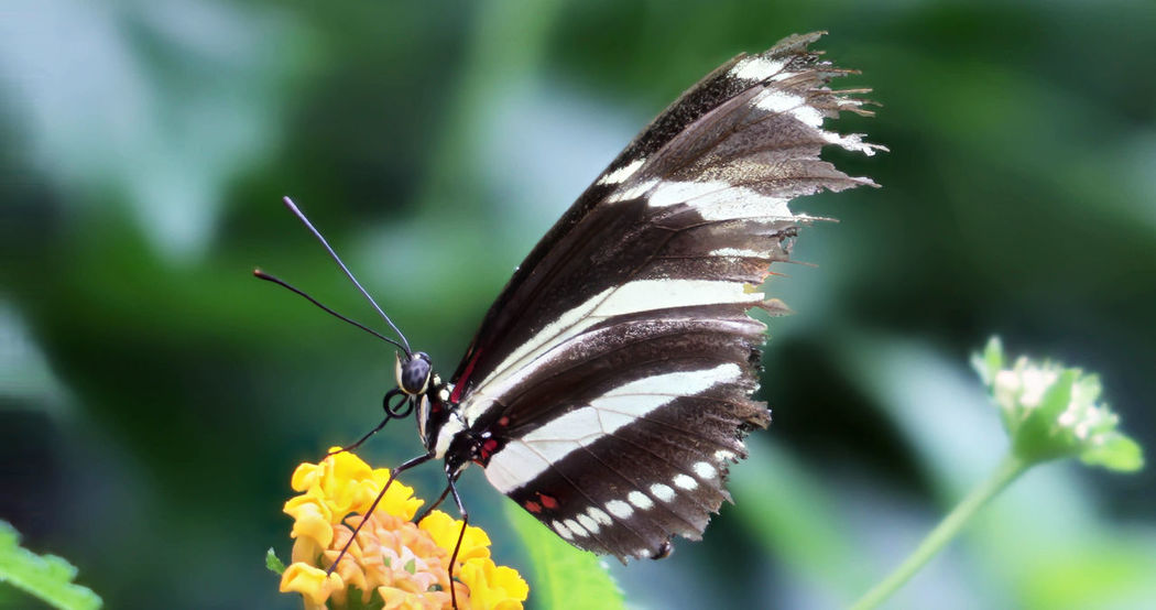 Zebra Longwing Butterfly with Torn Wing Zebra Longwing Butterfly Animal Themes Animal Wildlife Animals In The Wild Beauty In Nature Butterfly Butterfly - Insect Butterfly Collection Insect Nature One Animal