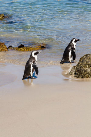 Two waddling penguins on the beach African Penguin Animal Themes Animal Wildlife Animals In The Wild Aquatic Beach Bird Boulder Beach Day Flightless Flightless Bird Jackass Penguin Nature No People Outdoors Penguin Sea South Africa Two Animals Vertical Waddle Water
