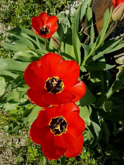 Red Flower Growth Nature Freshness Plant Leaf Fragility Beauty In Nature Petal Outdoors Flower Head No People Close-up Day Sunlight Tulips Flowers Vineyard Langhe Piedmont Italy Spring Blooms Redflowers In The Vineyard