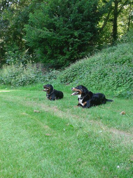 Dogs Of EyeEm Rottweiler Bernersennenhund Hunderunde Hunde Liebe ♡ Dog❤ Hundeleben Draußen Im Grünen Freya Mit Rocky die 2 Chaoten vom Niederrhein :-) Dog Life