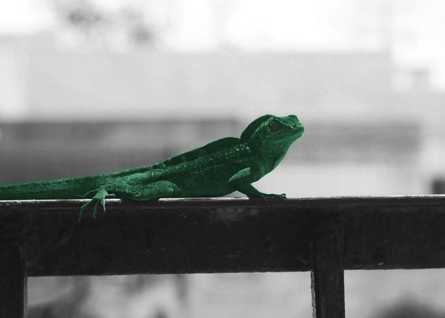 Animal Themes Animal Wildlife Focus On Foreground Green Color Iguana Lizard No People One Animal Reptile Wood - Material