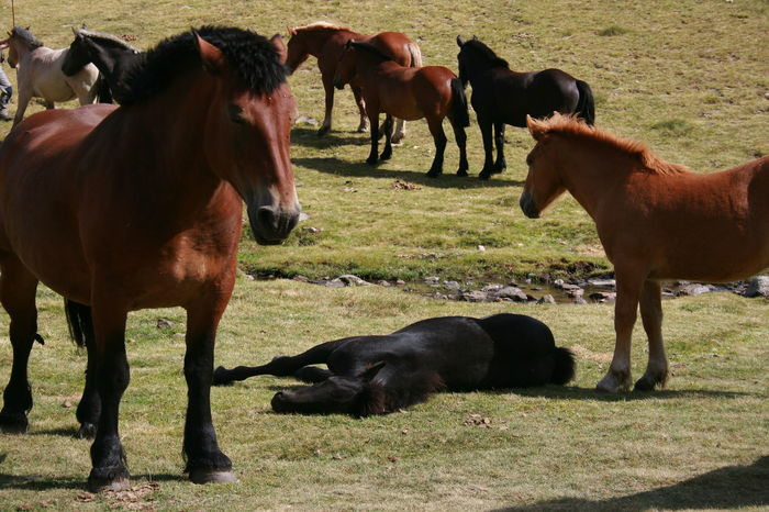 A group of mountain horses. Ordino, Andorra. Horses Animal Themes Domestic Animals Field Foal Grass Grazing Horse Livestock Mammal Mountain Houses Been There. Done That.