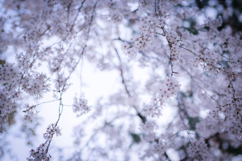 Plant Tree Low Angle View Beauty In Nature Blossom Flower Branch Fragility Flowering Plant Growth Springtime Nature Freshness Day Sky Cherry Blossom Vulnerability  Tranquility