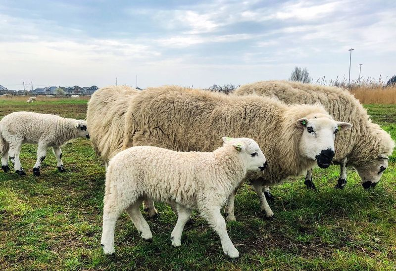 Sheeps Spring Springtime Lamb Mammal Group Of Animals Animal Livestock Animal Themes Sheep Nature Grass