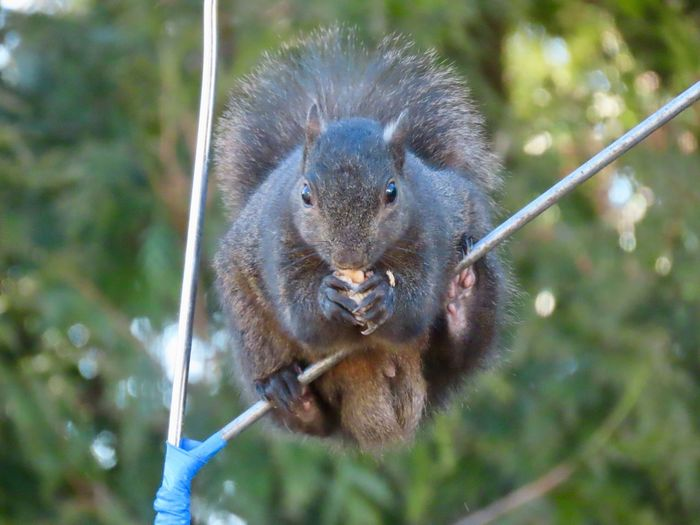 Black squirrel balancing on a metal rod eating a peanut 🥜 EyeEm nature lover closeup focus on the foreground Animal Themes One Animal Looking At Camera No People