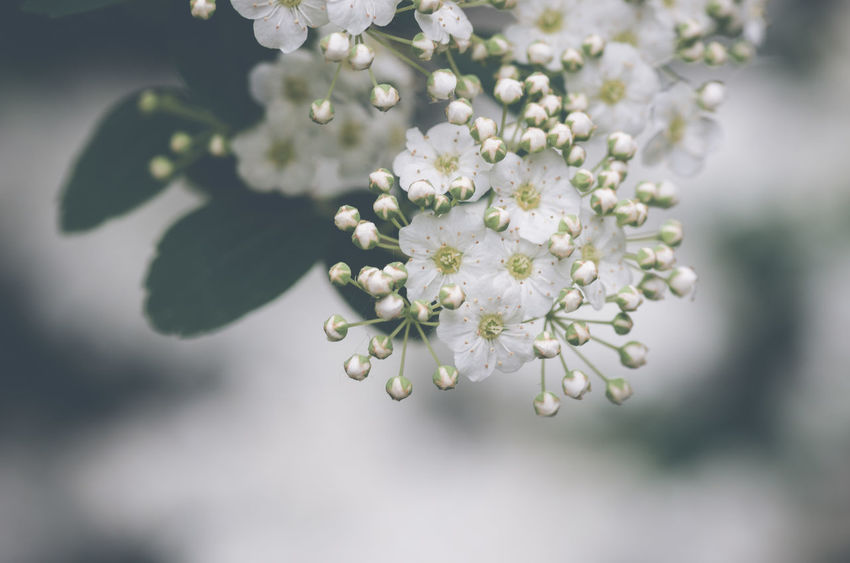 hawthorn in bloom Beauty In Nature Blossom Botanical Species Branch Cherry Tree Close-up Crataegus Day Flower Flower Head Flowering Plant Fragility Freshness Growth Hawthorn Blossom Nature No People Outdoors Plant Selective Focus Softness Springtime Tree Vulnerability  White Color