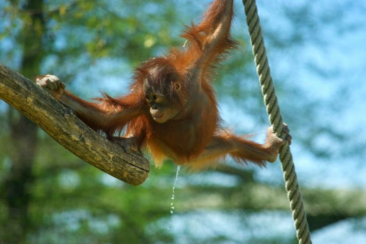 Animal Wildlife Animal Animals In The Wild Orangutan No People Animal Themes Branch Nature Zoo De Beauval Zoophotography Zoo Urine Pipi Primate Singe Orangoutan Monkey à Beauval