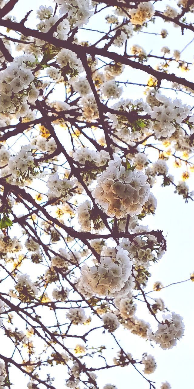 LOW ANGLE VIEW OF WHITE CHERRY BLOSSOMS IN SPRING