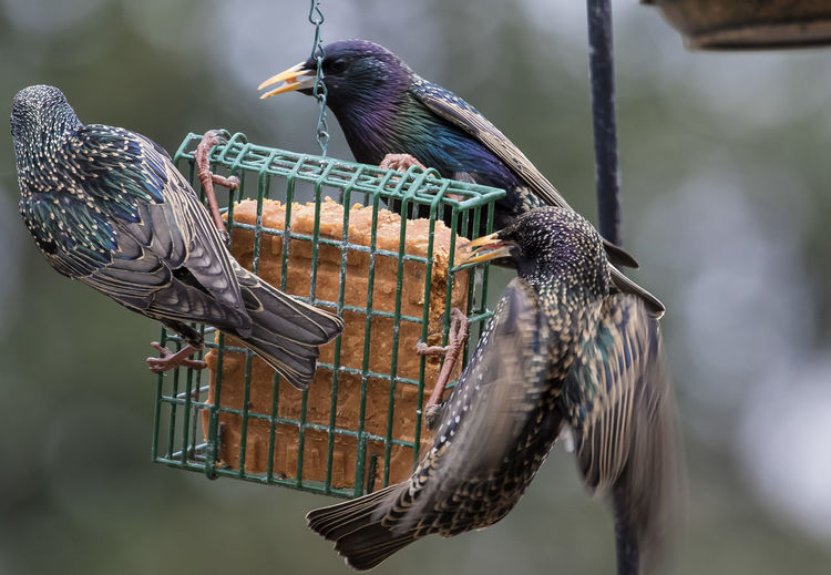 Communal dining Animal Themes Animal Wildlife Animals In The Wild Beak Beauty In Nature Bird Bird Feeder Birds Feeding Station Close-up Day Focus On Foreground Food Nature No People Outdoors Perching Starbucks Starlings Suet Feeder