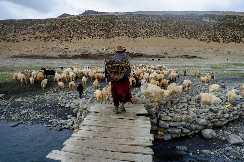 Bring them home. Farm Goat India Kashmir NOMAD Pure Kashmirdiaries Kashmire Kashmirphotographers One Person Real People Sheep Sheppard Traditional Clothing
