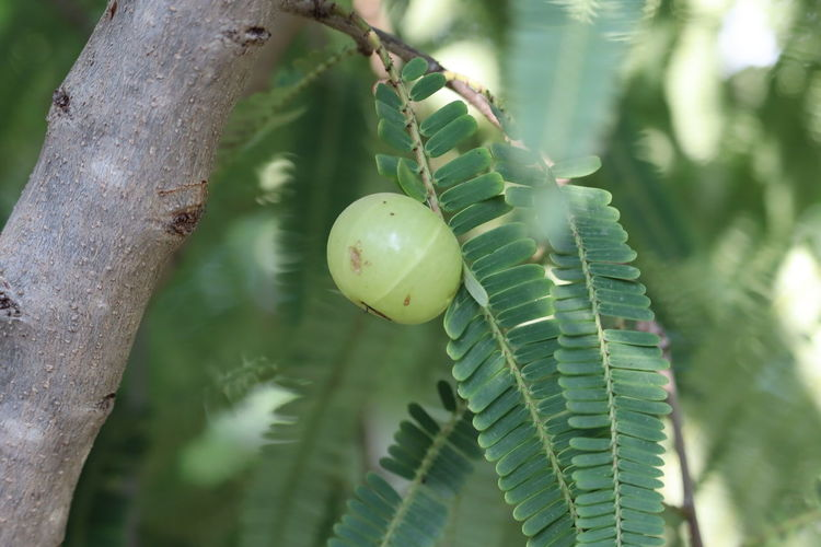 Indian gooseberries or amla fruit on tree with green leaf