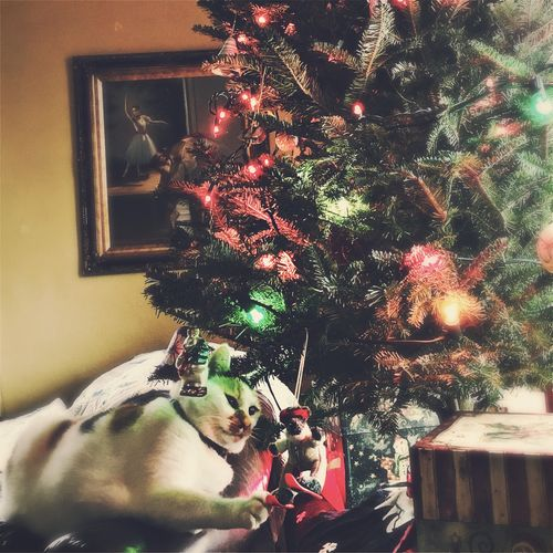 Best Christmas Lights IPS2015Xmas The moment when the cat discovers the tree is up. Cats Christmastree Holiday At home in Missouri.