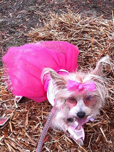 Pink Color Hay