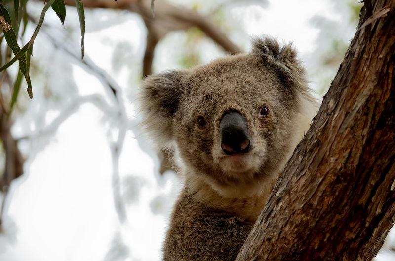Close-up of koala on tree
