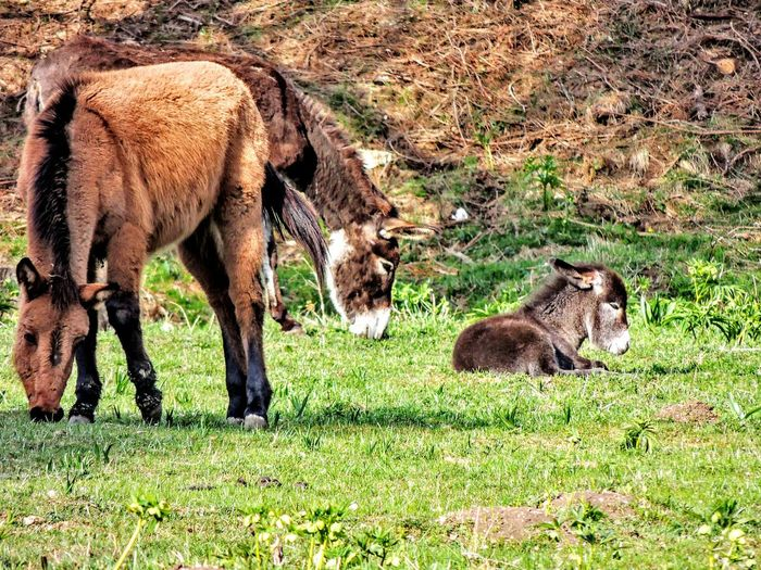 Grass Field Animal Themes Two Animals Day Nature Mammal Animals In The Wild Togetherness Outdoors Young Animal No People Animal Wildlife Domestic Animals Donkey Photography Donkey Animals Donkey Donkeysfamily Donkeys Nature Animals In The Wild Animal Animal Photography Animals Animal_collection