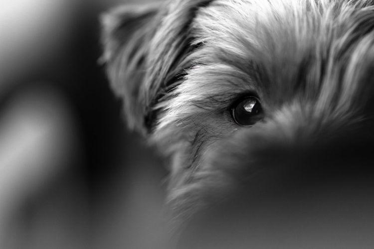 日本 EyeEm Nature Lover EyeEm Gallery EyeEm Best Shots - Nature Japan Photography 路地 愛犬 犬 Japan 単焦点 Yorkie モノクロ Bnw Eyeball Pets Portrait Human Eye Dog Looking At Camera Eyelash Beauty Eye