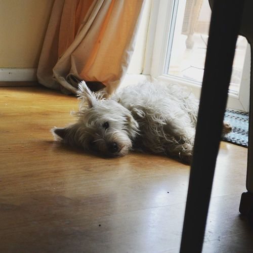 She can be cute ..... Yes I have notice my floor is dirty 😁 Westie Westiesofinstagram Dog Messydog 🐶 Sheneedsahaircut
