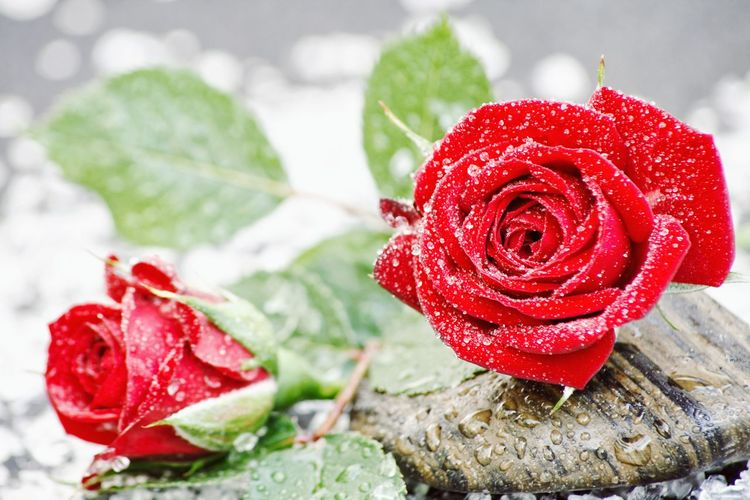 Close-up of red rose in water