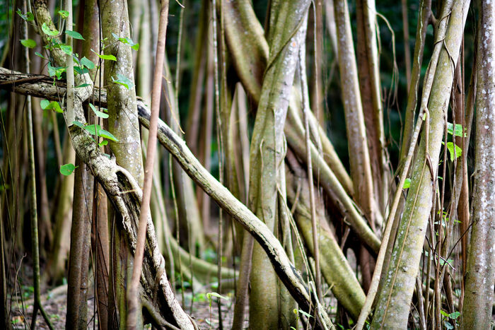 Banyan Tree Tropical Forest Beauty In Nature Enchanted Forest Growth Nature Outdoors Rain Forest Plants Roots Of Life Tree Woodlands