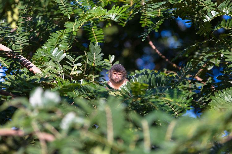 Monkey nail staring. / Macaco prego encarando. Green Color Animal Wildlife Animals In The Wild Beauty In Nature Macaco Macacoprego Nature Natureza No People Tree The Week On EyeEm The Week On EyeEm