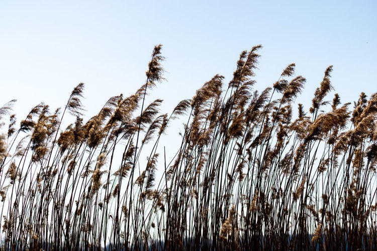 Low angle view of stalks against clear sky