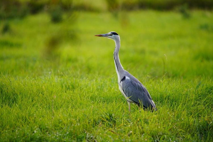 High angle view of gray heron on field
