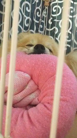 おっきい おしゃぶり Sleeping Sleeping Dog Japan Photography Pure Photography Dog❤ EyeEm Gallery Pure DogLove Nature Photography I Love My Dog Japan Dogs Dog Animals EyeEm Cute Pets