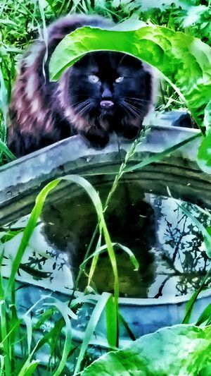 Cats Of EyeEm American Bobtail Cats Furfamily Reflections Cats My Cat Cats Are People Too Water Ripples Drinking Water Animal Photography Black Cat Water Reflections Manix Cat American Bobtail Cat