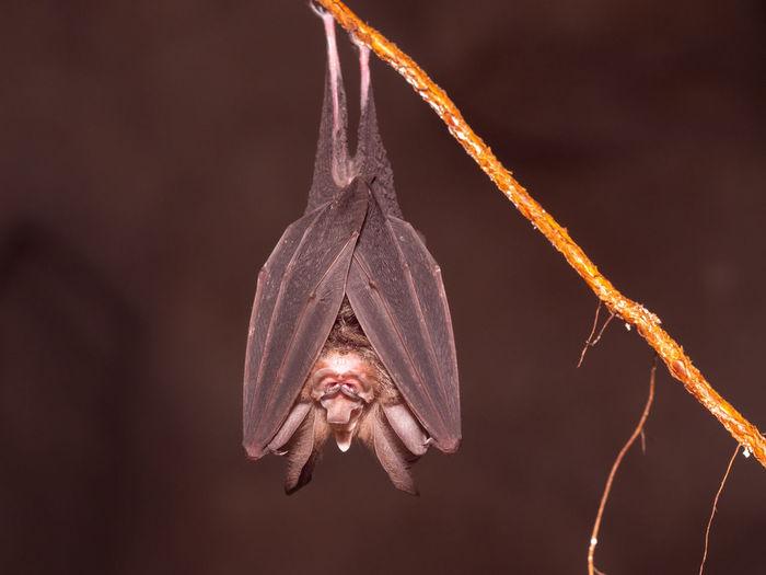 Large-eared horseshoe bat - rhinolophus philippinensis in a cave, gunung mulu, borneo