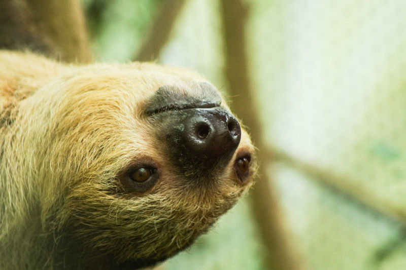 sloth portrait Animal Themes One Animal Animal Animal Wildlife Mammal Animals In The Wild Close-up Focus On Foreground Vertebrate No People Animal Body Part Animal Head  Nature Day Outdoors Looking Rodent Zoo Cute Animals In Captivity Whisker Animal Nose Sloth