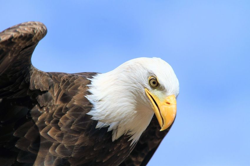 this eagle sees something below him Animal Themes Animals In The Wild Beak Bird Clear Sky Eagle Nature No People One Animal Outdoors Wildlife