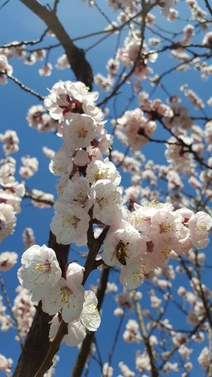 Taking Photos Spring Spring Flowers Hanging Out Sky Bluesky Cherry Blossoms Morning Morning Walk Love Blue Sky Sunny Sunnyday Naturali always think of you..........