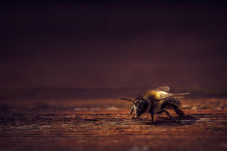 Honeybee Been