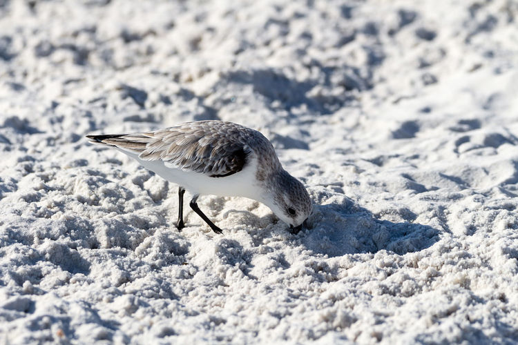 Sanderling Winter Snow Animal Themes Animal Animal Wildlife Bird One Animal Animals In The Wild Cold Temperature Vertebrate Nature White Color No People Day Covering Land Outdoors Full Length Sunlight Beach Sand Sandpiper Sanderling