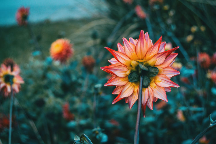 Beauty In Nature Botany Close-up Day Flower Flower Head Flowering Plant Focus On Foreground Fragility Freshness Gazania Growth Inflorescence Nature No People Orange Orange Color Outdoors Petal Plant Plant Stem Pollen Vulnerability