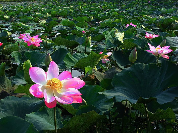 Lotus Flowers In The Morning. Beauty In Nature Blooming Close-up Day Flower Flower Head Fragility Freshness Green Color Growth Leaf Lotus Flower Nature No People Outdoors Petal Pink Color Plant