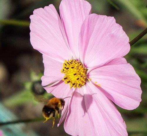 Macro Macrophotography Bee BEEPIC Flowers Flower Flowerphotography Wildlife Britishflowers Britishwildlife Pink Nofilter Garden