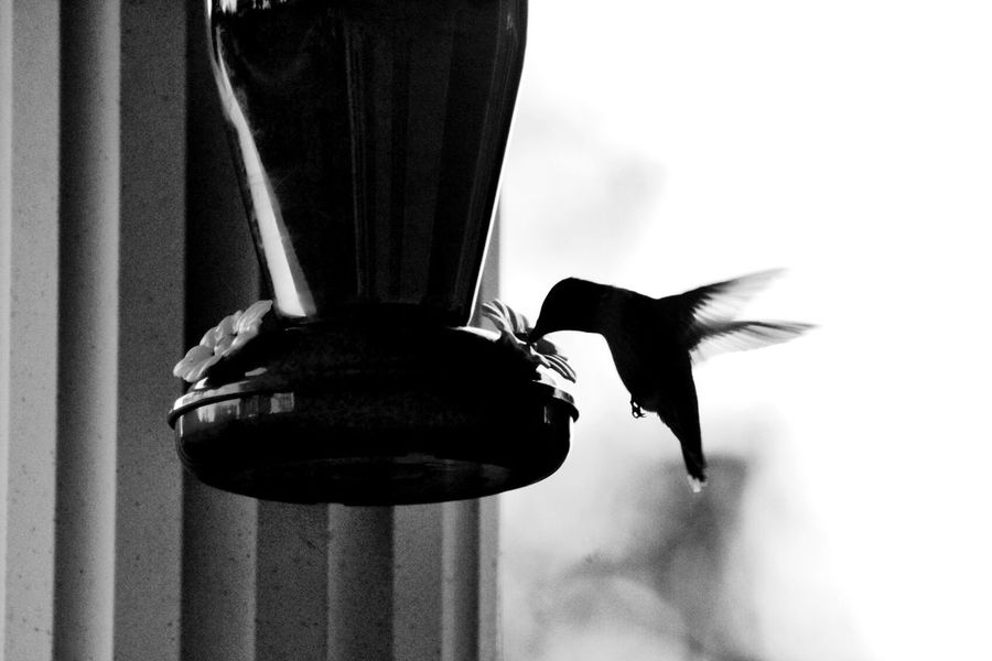 Humming Bird Bird Flying Selective Focus Spread WingsBlack And White One Animal Animal Themes WildlifeEyeemphotography Eyeemphoto No People Silouette Calmness...Soothing Gods Creation My Point Of View Animal Beauty In Nature Backgrounds Filter Evening Lights Louisville, Kentucky