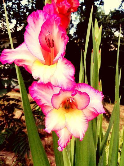 Flower Head Flower Pink Color Petal Stamen Springtime Close-up Blooming Plant Day Lily Iris - Plant In Bloom Plant Life Pollen Pistil